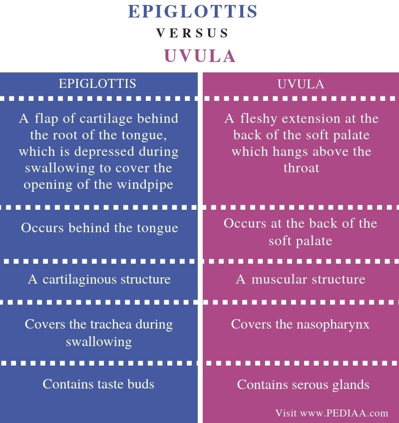 Difference Between Epiglottis and Uvula - Comparison Summary