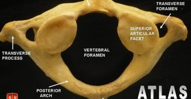 What is the Difference Between Atlas and Axis Vertebrae