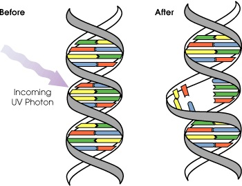 Difference Between DNA Damage and Mutation_Figure 2