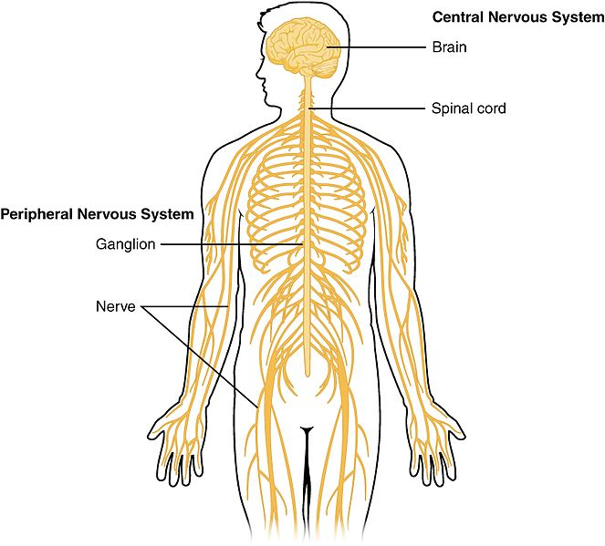 Difference Between Diffuse and Centralized Nervous System
