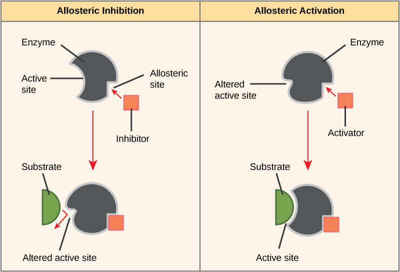 What is the Difference Between Enzyme Activator and Enzyme Inhibitor