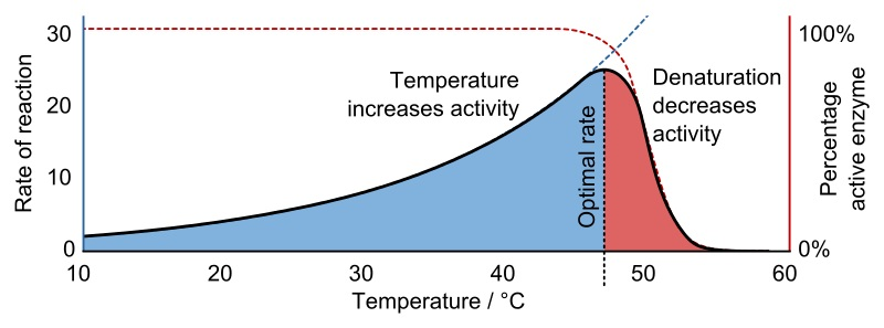 Difference Between Enzyme Activity and Specific Activity