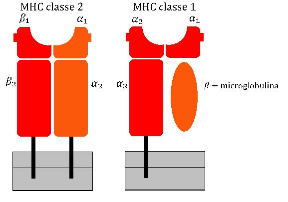 Main Difference - HLA and MHC