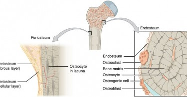What is the Difference Between Periosteum and Endosteum