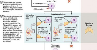 What is the Difference Between Positive and Negative Selection of T Cells