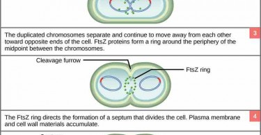 What is the Difference Between Prokaryotic and Eukaryotic Cell Division