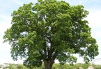 Difference Between Red Oak and White Oak