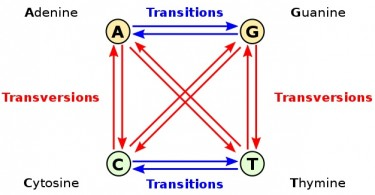 What is the Difference Between Transition and Transversion