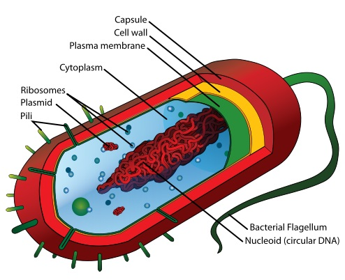 What is the Difference Between Typical and Atypical Bacteria
