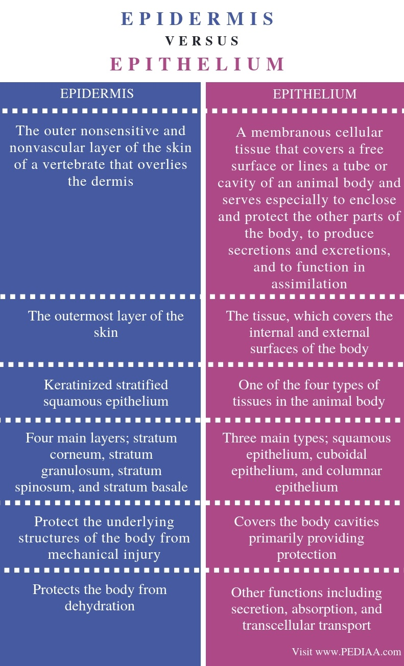 Difference Between Epidermis and Epithelium - Comparison Summary