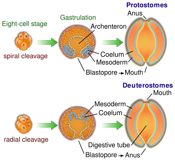 Difference Between Archenteron and Blastocoel