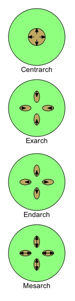 Difference Between Endarch and Exarch