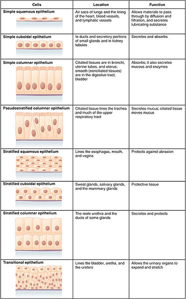 Main Difference - Epidermis and Epithelium