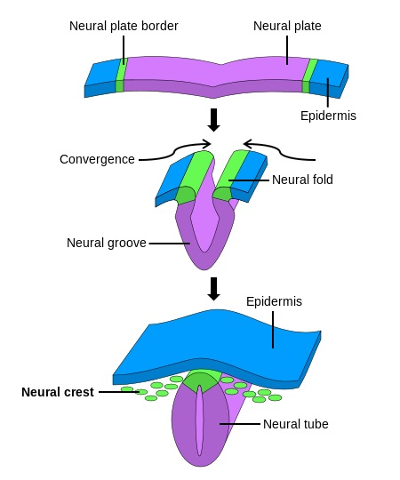 Difference Between Gametogenesis and Embryogenesis_Figure 4