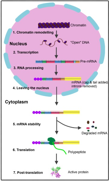 What is the Difference Between Gene Expression and Gene Regulation
