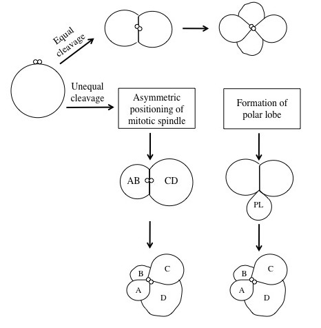 Difference Between Holoblastic and Meroblastic Cleavage