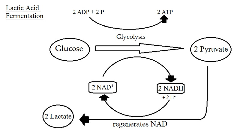 What is the Difference Between Lactic Acid and Lactate Dehydrogenase