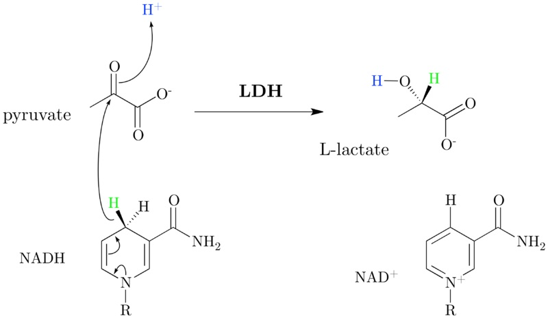 Difference Between Lactic Acid and Lactate Dehydrogenase