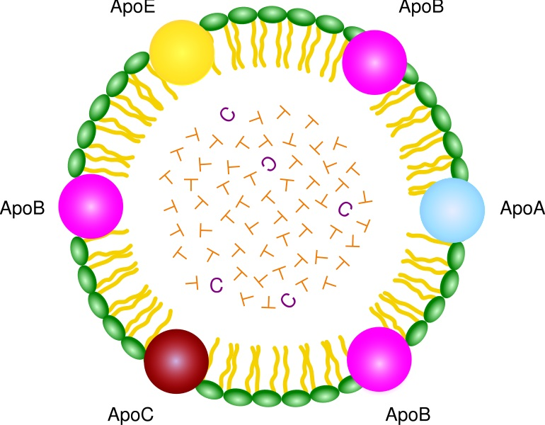 Difference Between Lipoprotein and Apolipoprotein