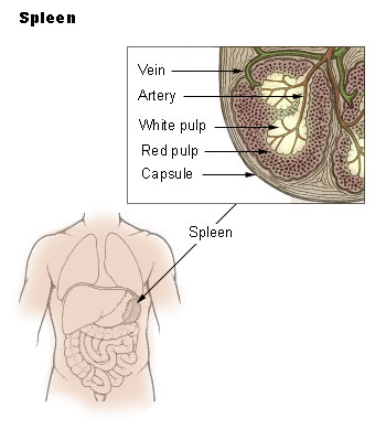 Main Difference - Lymph Node and Spleen