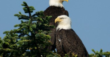 What is the Difference Between Male and Female Bald Eagles