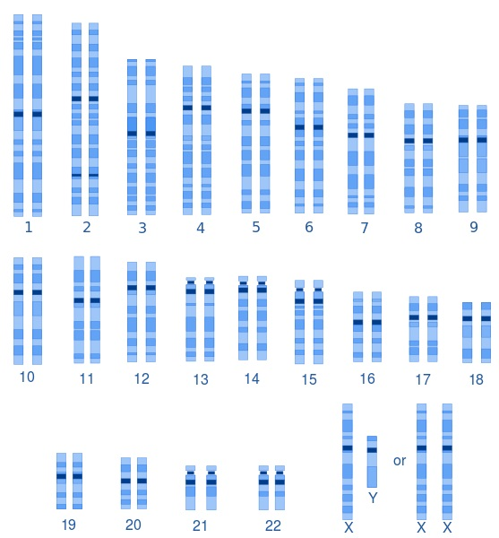 What is the Difference Between Male and Female Karyotypes
