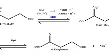 What is the Difference Between Oxidative and Nonoxidative Deamination