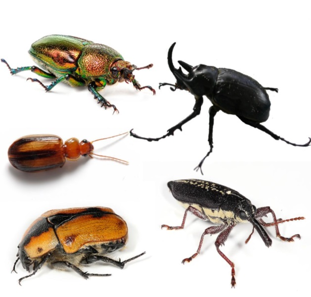 Difference Between a Bug and a Beetle