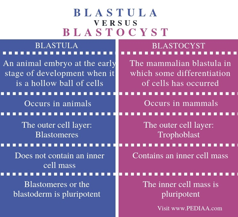 Difference Between Blastula and Blastocyst - Comparison Summary