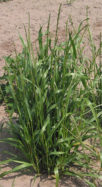 What is the Difference Between Annual and Perennial Ryegrass