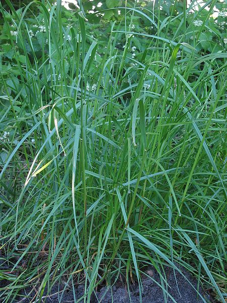 Difference Between Annual and Perennial Ryegrass