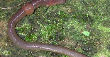 Difference Between Ascaris and Earthworm