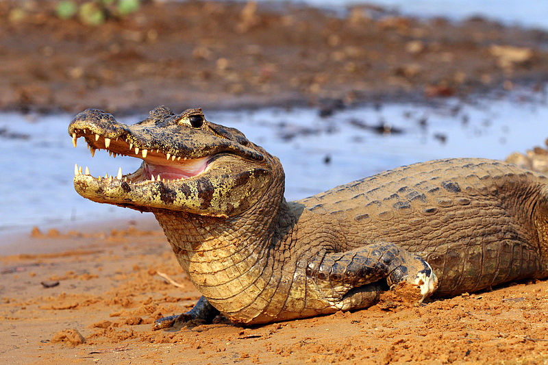 What is the Difference Between Caiman and Alligator Pediaa.Com