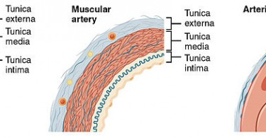 What is the Difference Between Elastic and Muscular Arteries