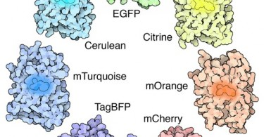 GFP and YFP