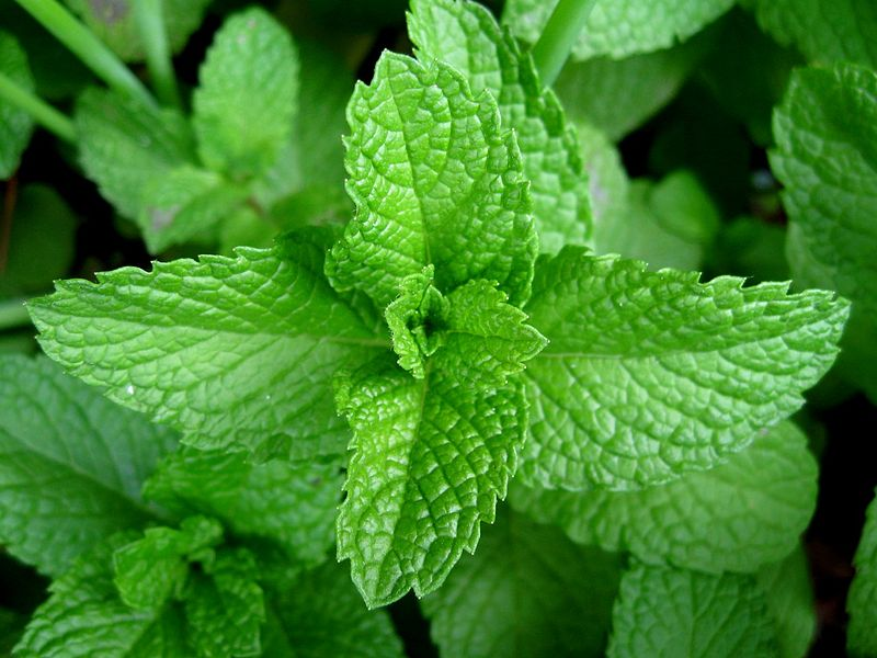 What is the Difference Between Mint and Menthol