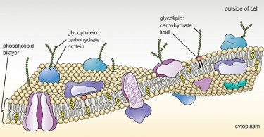Difference Between Peptidoglycan and Glycoprotein