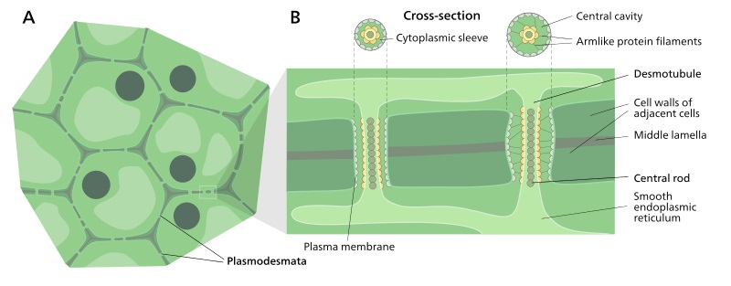 What is the Difference Between Plasmodesmata and Desmotubule