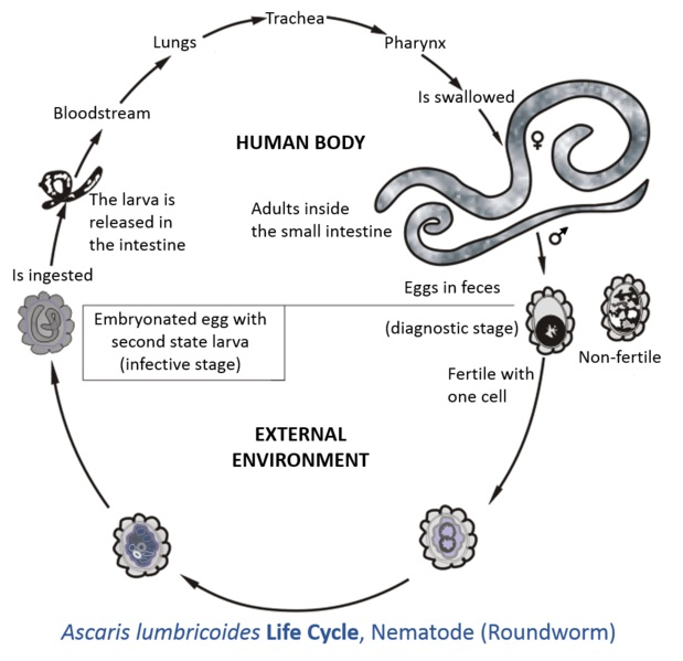 What is the Difference Between Protozoa and Helminths