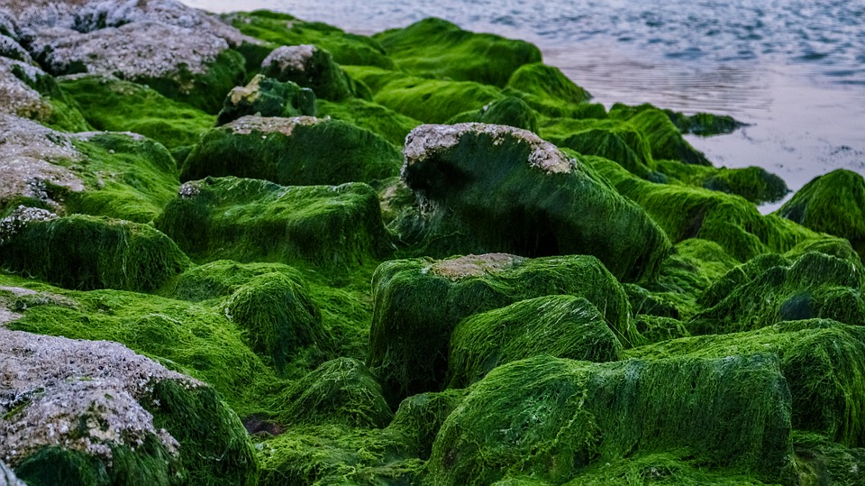 What is the Difference Between Red Brown and Green Algae