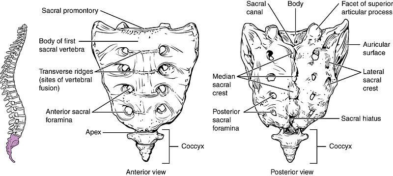 What is the Difference Between Sacrum and Coccyx