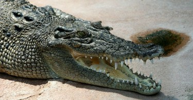 What is the Difference Between Saltwater and Freshwater Crocodiles