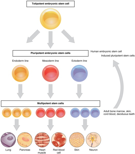 What is the Difference Between Stem Cells and Specialised Cells
