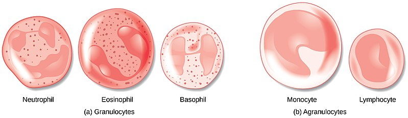 Difference Between Stem Cells and Specialised Cells