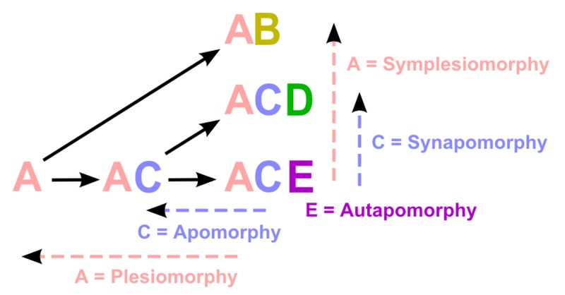 What is the Difference Between Synapomorphy and Symplesiomorphy