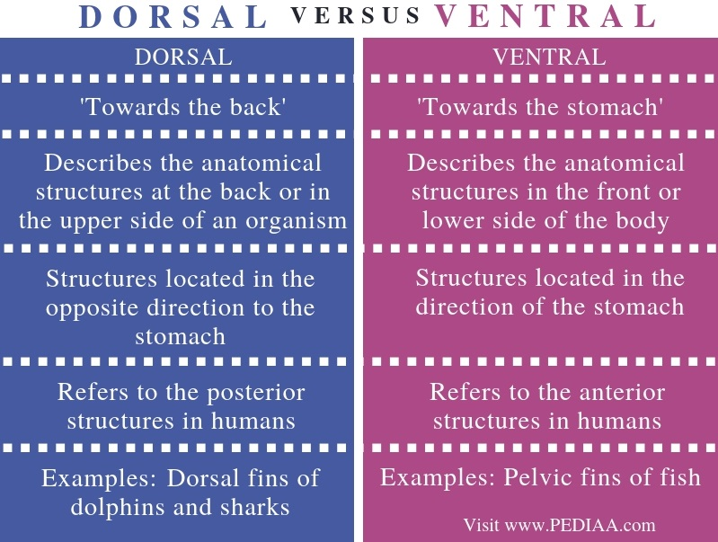 Difference Between Dorsal and Ventral - Comparison Summary