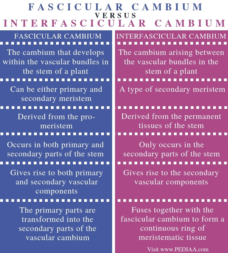 Difference Between Fascicular Cambium and Interfascicular Cambium - Comparison Summary