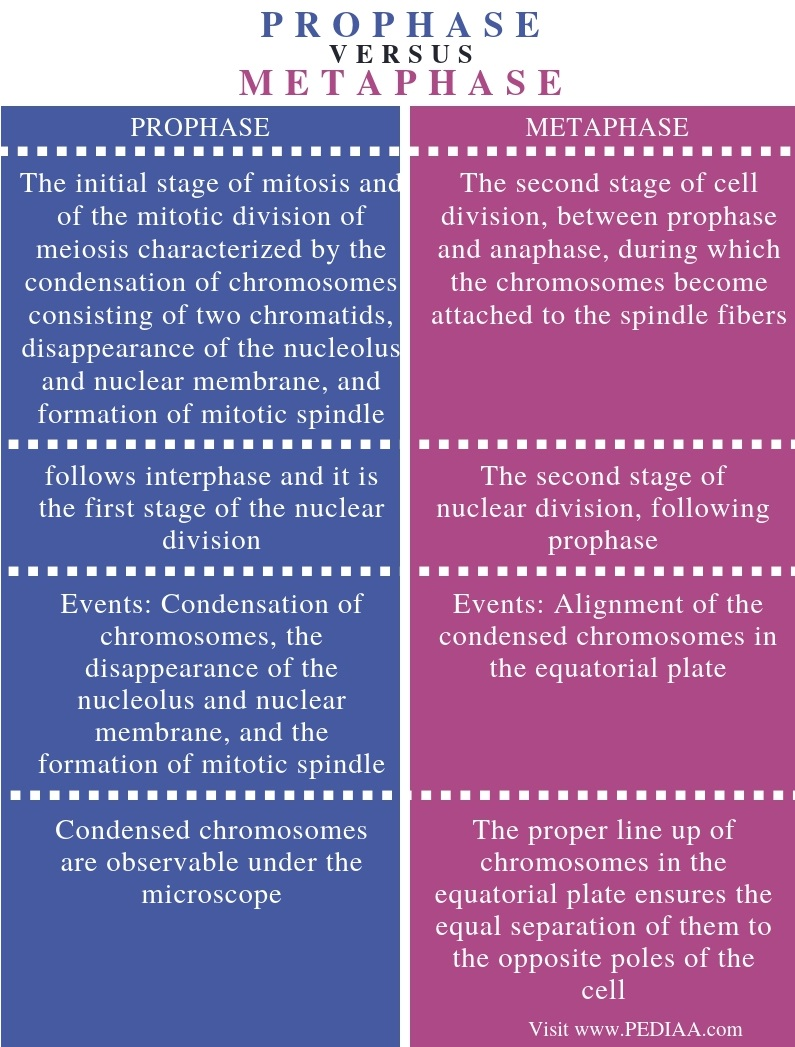Difference Between Prophase and Metaphase - Comparison Summary