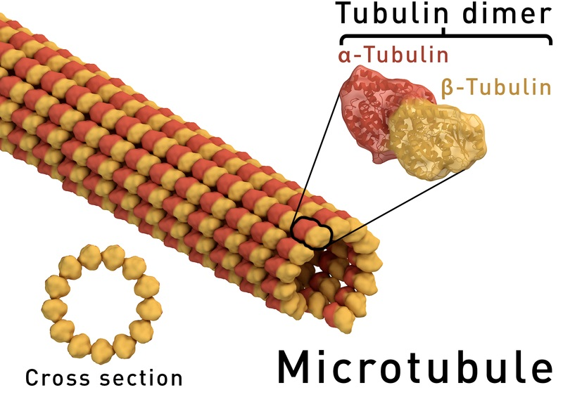 What is the Difference Between Alpha and Beta Tubulin