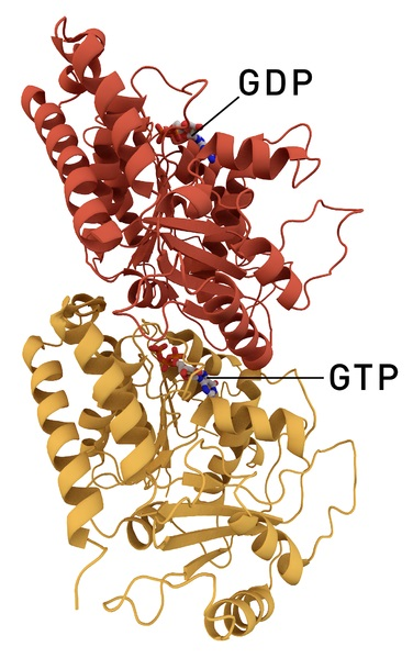 Difference Between Alpha and Beta Tubulin